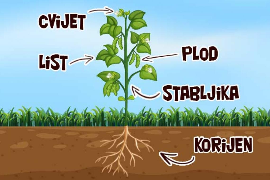 Cvjetnjače biljke Sedam ljekovitih